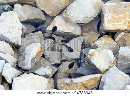 Black Tadpoles In The Lake With Stone In The Mountains
