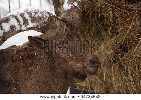 Moufflon Goat In The Winter