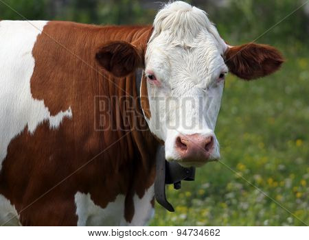 Isolated Cow Grazing In The Meadow In The Mountains