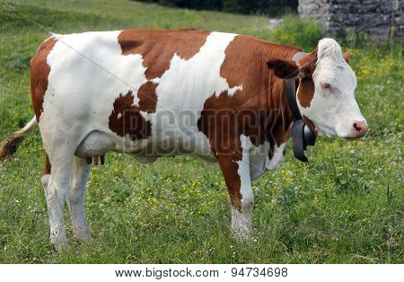 Cow Grazing In The Meadow In The Mountains 1
