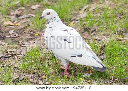 White Dove On The Grass