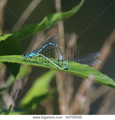 Pair of Azure Damselfy (Coenagrion puella)