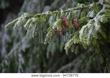 Beauty in a mountain forest. Spruce branches with cones covered with hoarfrost