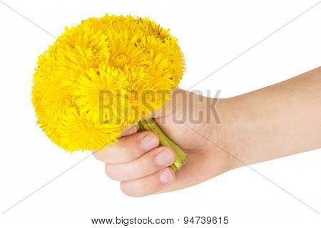 Bouquet of dandelions in the hand isolated on white background.
