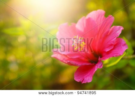Single pink flower in a green field under warm sunlight