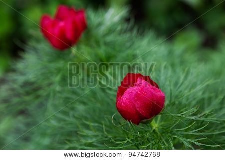 beautiful red peony with drops of rain. close-up