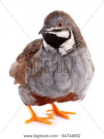King quail isolated on white background