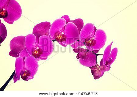 One branch of violet orchid