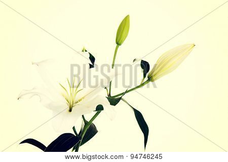 White lily and a bud of lily