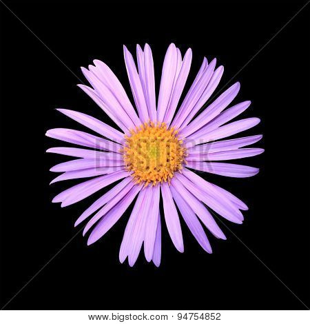 Aster Close Up