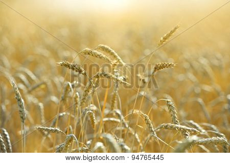 Wheat field ready for harvest during late afternoon