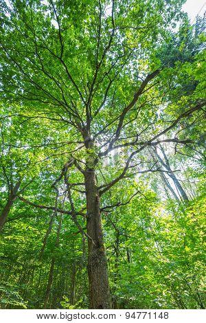 Green Summer European Forest