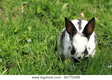 Black And White Rabbit In The Grass