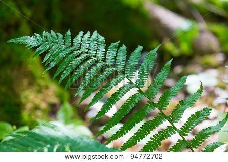 Wild Fern Growing In Forest