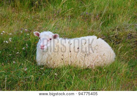July in Iceland. White Icelandic sheep resting in a meadow