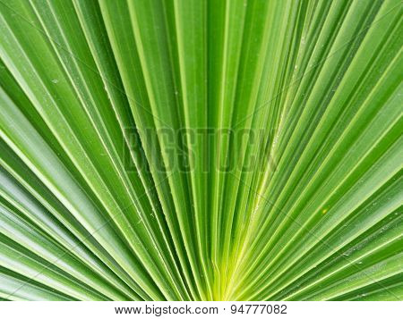 Dark green color of sugar palm leaf abstract background.