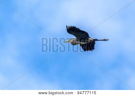Heron Flies In Blue Sky.