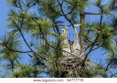 Herons In Nest Looking Out.