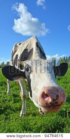Funny Cow On The Meadow At Sunny Day