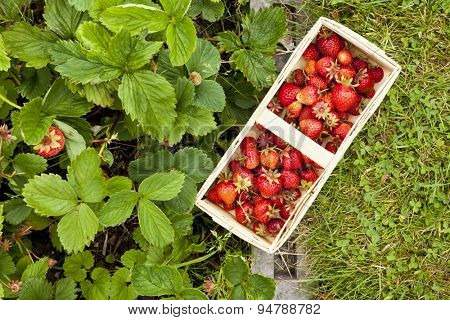 full basket of strawberries on lawn and strawberry plants, high angle view