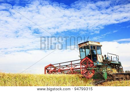 Ripe rice harvesting
