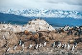 pic of sea lion  - King Cormorant colony sits on an Island in the Beagle Channel. Sea lions are visible laying on the Island as well. Tierra del Fuego Argentina - Chile ** Note: Visible grain at 100%, best at smaller sizes - JPG