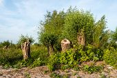 foto of early morning  - Large willow trees have been cut down on the bank of a wide Dutch river - JPG