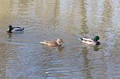 image of duck pond  - Ducks in a pond in winter park - JPG