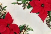 picture of poinsettias  - Christmas and thanksgiving poinsettia flower background border on parchment paper - JPG