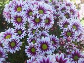 picture of chrysanthemum  - Flower - JPG