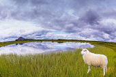 picture of iceland farm  - White Icelandic sheep grazing in the meadow - JPG
