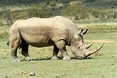 picture of rhino  - African White Rhino Lake Nakuru National park of Kenya - JPG