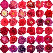 picture of purple rose  - Big collection of beautiful red and purple roses isolated on the white background - JPG
