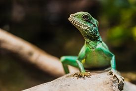 stock photo of dragon  - Chinese water dragon  - JPG