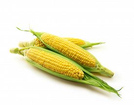 picture of sweet-corn  - Fresh harvested corn with husks intact - JPG
