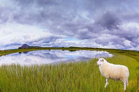 pic of iceland farm  - White Icelandic sheep grazing in the meadow - JPG