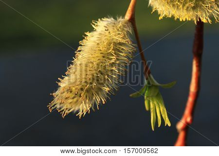 spring awakening of nature willow blossom, soft and fluffy willow