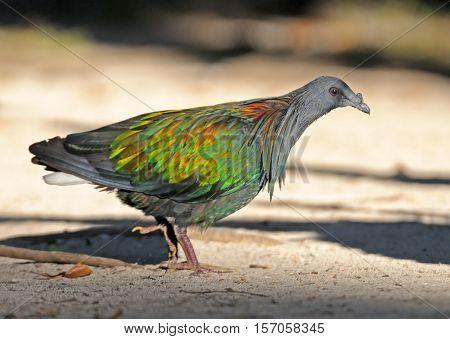 Wild Nicobar pigeon (Caloenas nicobarica). Koh Miang island of Similan islands Andaman sea Thailand