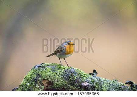European Robin (erithacus Rubecula) Perched On Mossy Branch In Rain.