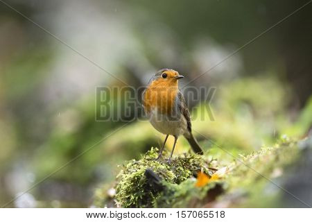 European Robin (erithacus Rubecula) Sitting On Mossy Tree Trunk In The Rain