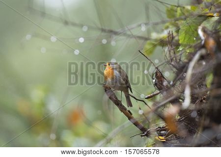 European Robin (erithacus Rubecula) Perched On Twig With Raindrops In The Rain
