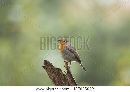 European Robin (erithacus Rubecula) Perched On A Branch In Forest.