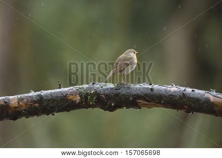 Rear View Of European Robin (erithacus Rubecula) Perched On A Branch In The Rain.