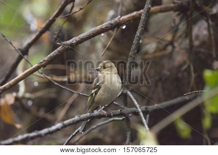 Female Common Chaffinch (fringilla Coelebs) Perched On A Twig In Bushes.