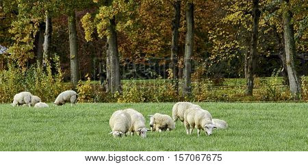 Young white sheep grazing in pasture with fresh grass. In the background forest with autumn colors. Focus at sheep in front. Panorama landscape.