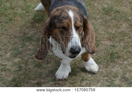 Basset hound puppy dog with his eyes closed.