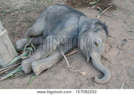 Domesticated baby elephant lying down outside Hua Hin in Thailand, Asia