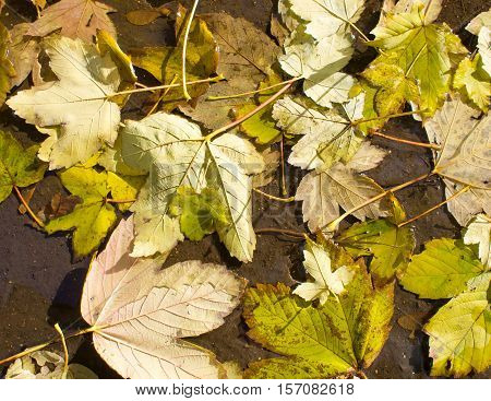 Top View Of A Wet Autumn Leaves In A Puddle