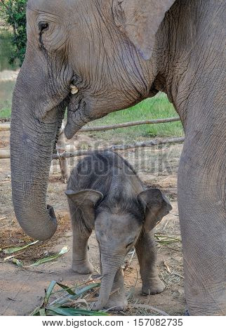 Domesticated baby elephant with mother outside Hua Hin in Thailand, Asia