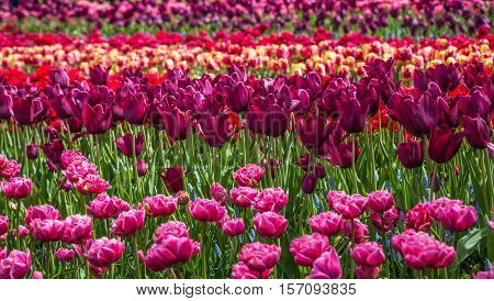 Flower field of colourful tulips in spring. Colorful tulips in the Keukenhof garden, Netherlands. Fresh blooming tulips in the spring garden. Tulip Flower Field. Shallow focus. Beautiful tulips.